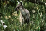 Young kangaroo joey